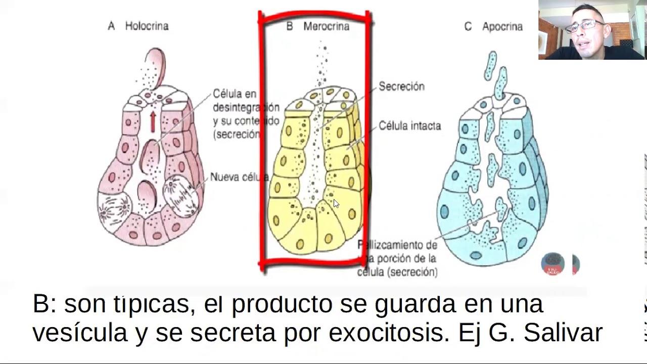 Microclase 2 Unidad II Epitelio Glandular (Mofosiología Aplicada Viedma)