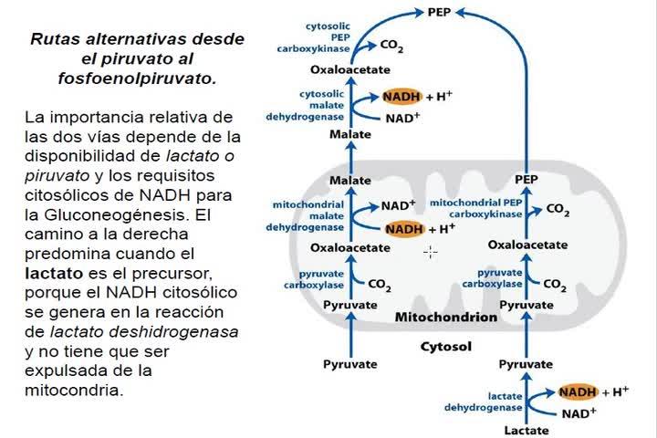 LITA-Bioqca-Simes-Glucólisis3