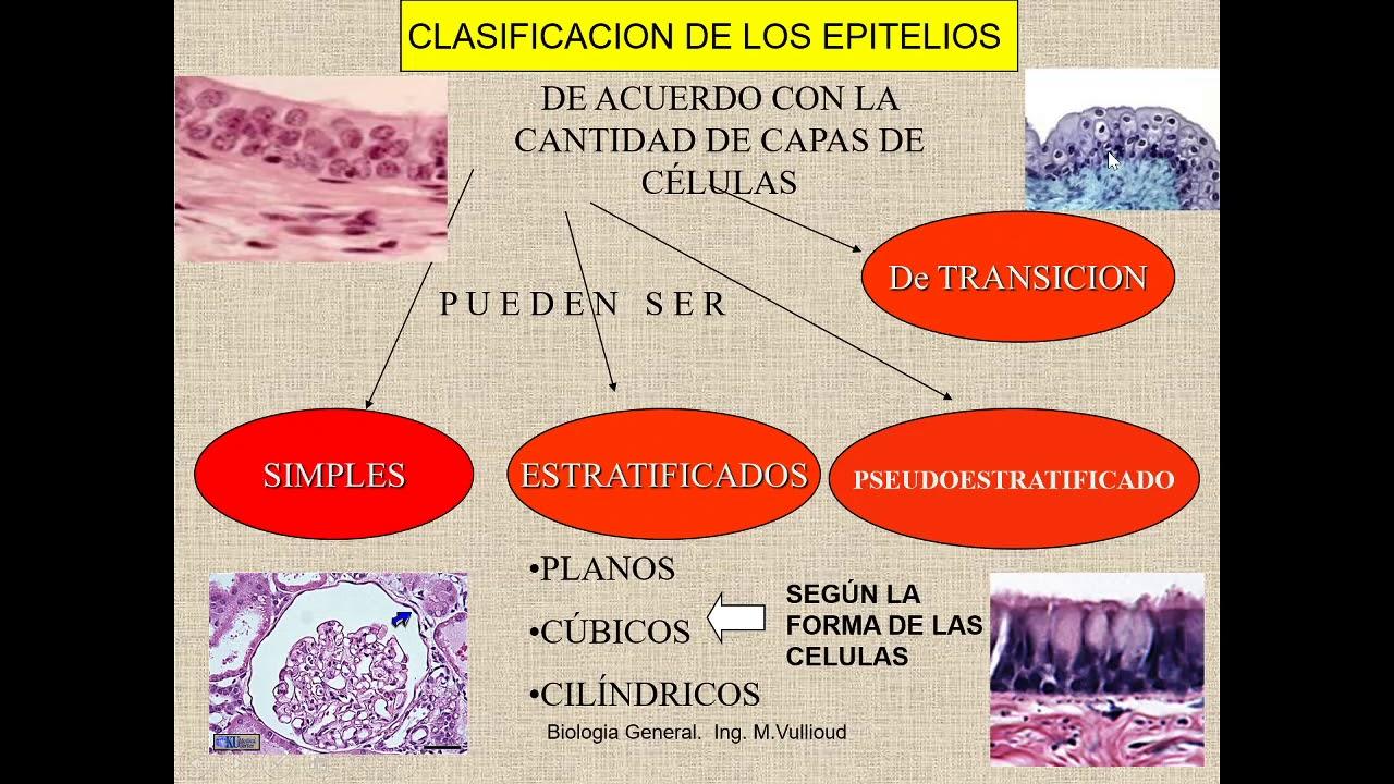 Repaso de tejidos animales, sistemas de rganos.