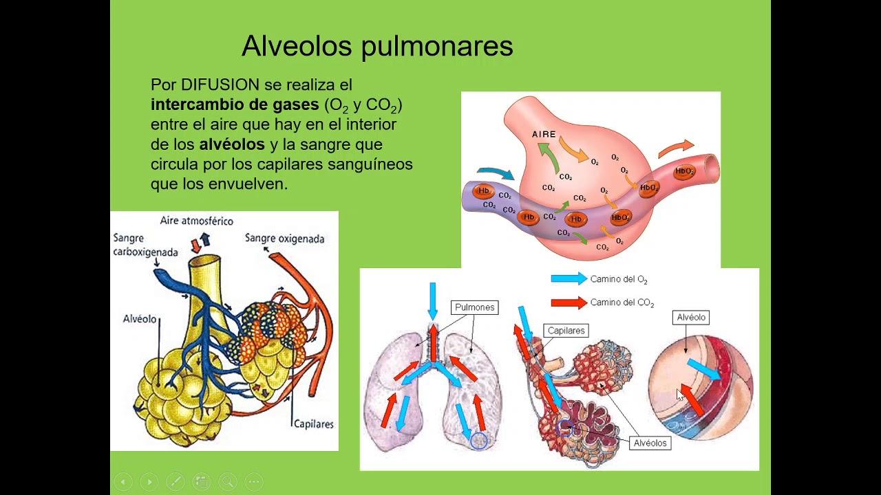 Sistemas respiratorio y circulatorio