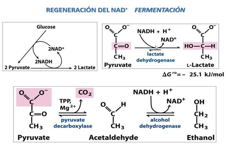 Bioqalim Glucólisis Gneogénesis Krebs Teoría 18-5-2020-1